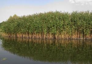 Тростник обыкновенный заросли на берегу реки
