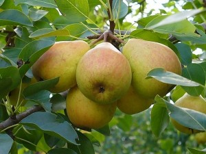 спелые груши на дереве