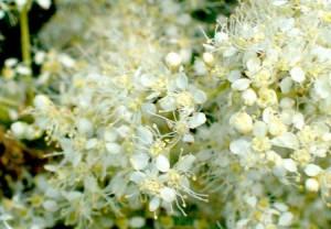 цветы таволги крупный план