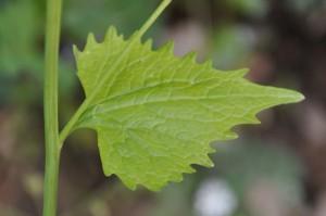 Чесночница черешчатая лист