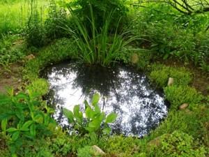 аир болотный в саду