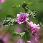 Мальва лесная цветы