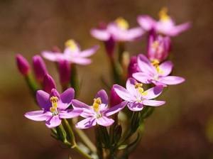цветы золототысячника зонтичного