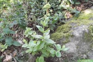 Очиток большой растение в природе