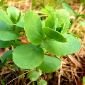 Очиток большой молодые побеги с листьями