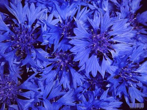 Василек синий много соцветий