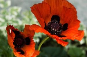 цветок мака крупный план
