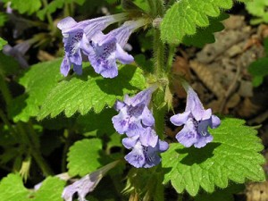 Будра плющевидная цветки и листья крупный план
