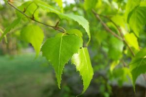 листья березы на ветви