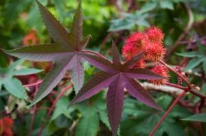 Клещевина обыкновенная листья и цветки