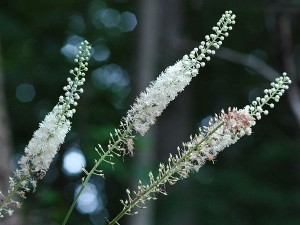 Клопогон вонючий цветки крупный план