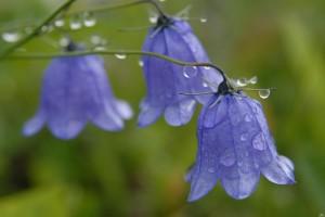 Колокольчик цветы крупный план