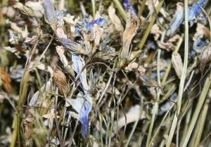 трава колокольчика сушеная