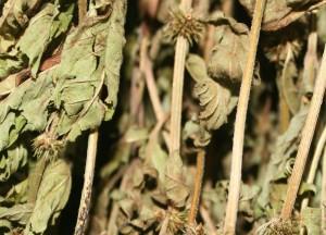 сушеная трава зюзника европейского