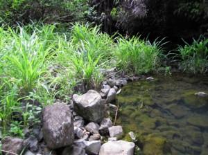 бусенник обыкновенный на берегу пруда