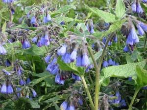 растение живокост трава с цветками