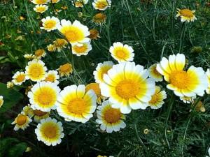 хризантема увенчанная цветущая