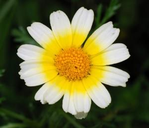 цветок хризантемы овощной крупный план