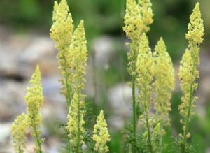 резеда желтая соцветия