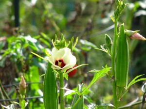 бамия цветущая
