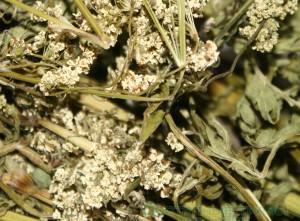 сушеная трава купырь лесной