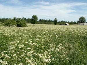 поле купыря