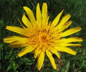 козлобородник луговой цветок крупный план