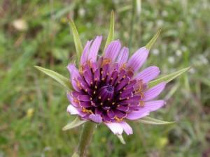 Овсяный корень сиреневый цветок крупный план