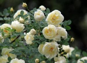 Чайная роза белая куст с цветами