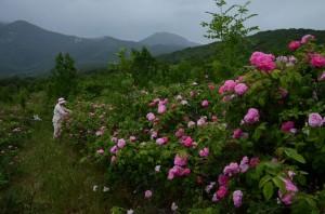 кусты чайных роз с цветами