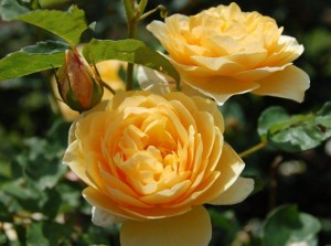 желтые чайные розы и бутон