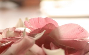 розовые лепестки чайной розы