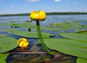 Кубышка жёлтая на озере заросли