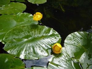 цветы и листья кубышки на озере