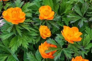 купальница сибирская цветы