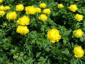 купальница в саду желтые цветы