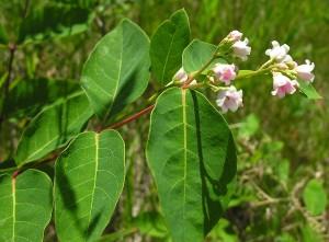 веточка кутры с листьями и цветами
