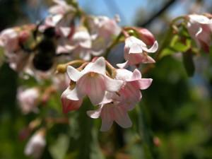 цветы кутры коноплёвой крупный план