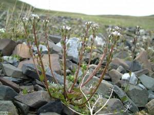 Ложечкина трава в природе