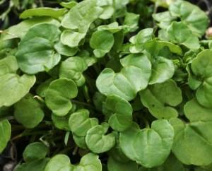 Листья ложечкиной травы