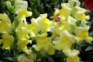 желтый львиный зев цветы