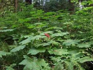 заманиха высокая в лесу