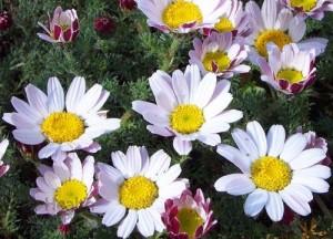 Слюногон лекарственный цветки крупный план