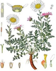 анациклус лекарственный строение растения