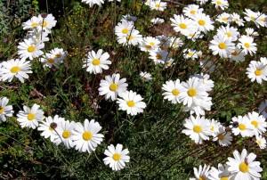 цветы акаркара