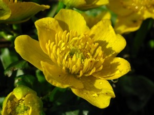 Калужница болотная цветок крупный план