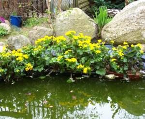 Калужница болотная в саду