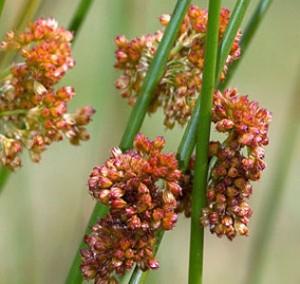 Ситник развесистый цветы