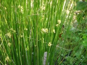 Ситник развесистый цветущий в воде