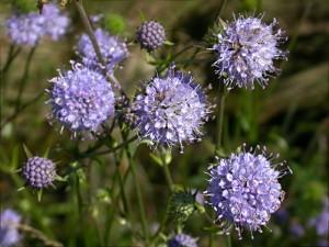 Сивец луговой цветы